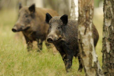 wildschwein-jagd